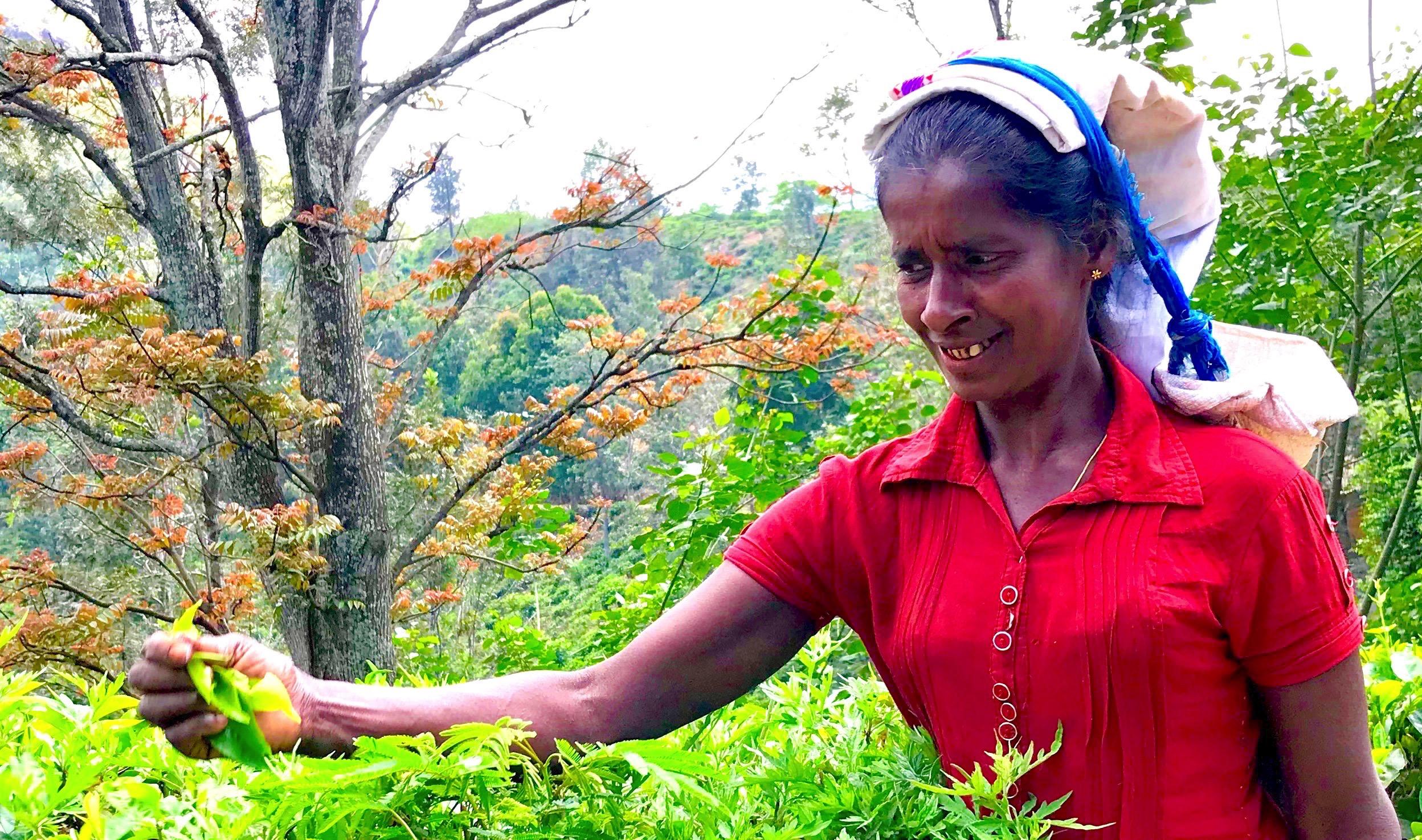 Tea picker at 48 Acres near Ella in Sri Lanka © London Intelligence ®